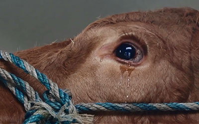 weinende-kuh-jetzt-gerettet-crying-cow-now-saved-with-english-subtitles-00
